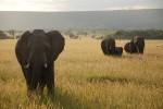 royal-mara-elephants-kenya