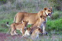 Collared lioness and cubs
