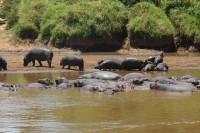 hippos at hippo bend lagoon 16